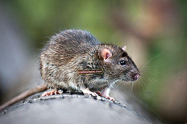 Come uccidere i ratti per un pitone palla